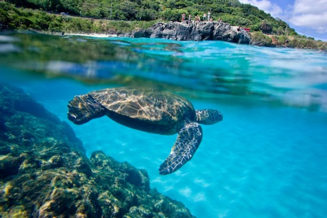 An under water view of Hawaiian sea turtle at Waimea Bay on the north shore of Oahu, Hawaii.